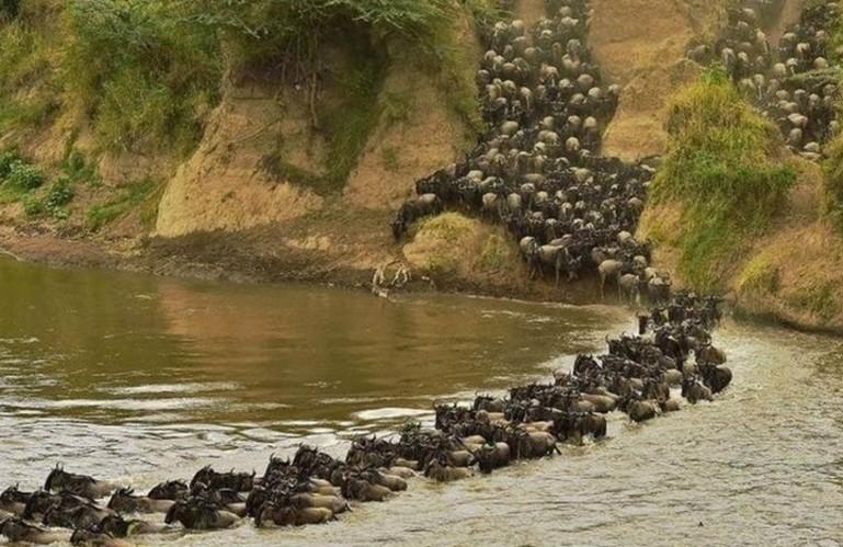 Hayvonlarning yillik migratsiyasi